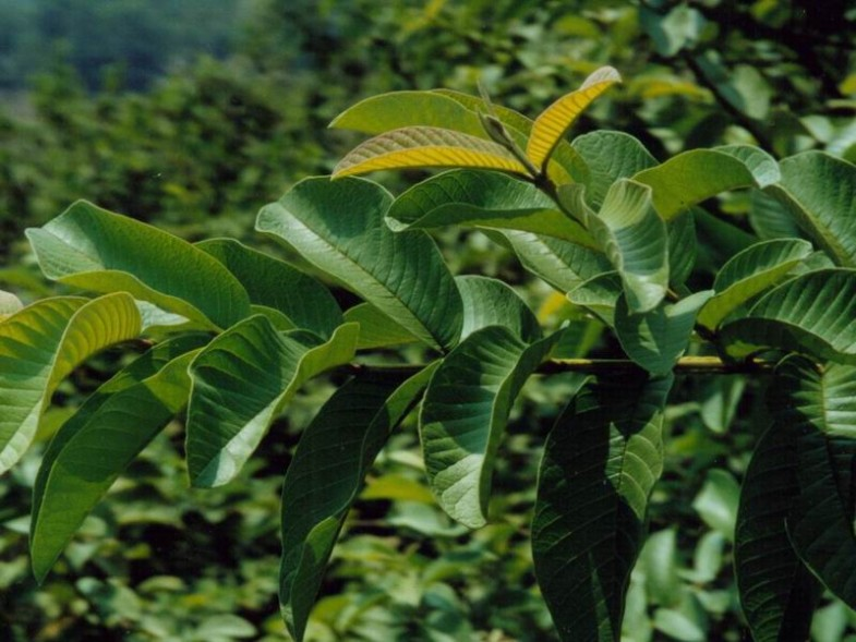 folium_psidii_guajavae_guava_leaf_20_69762