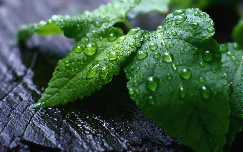fresh_mint_leaves-2