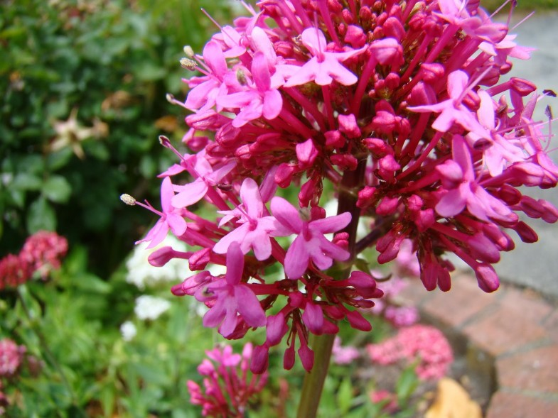 centranthus ruber flowers