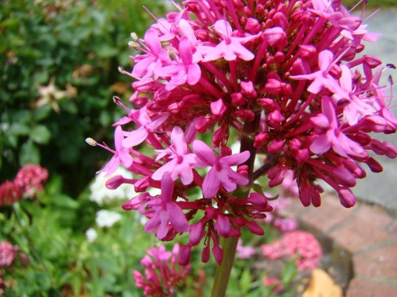 centranthus ruber flowers