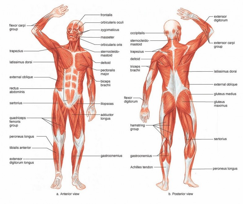 muscle-diagram-to-label