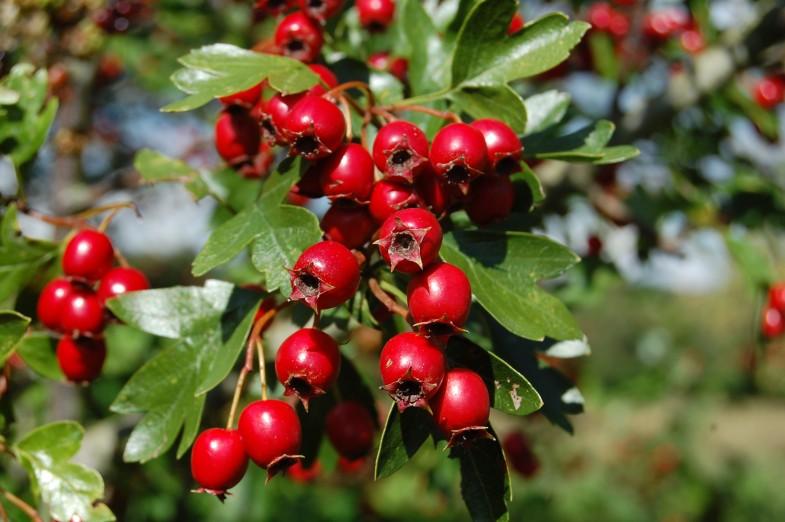 hawthorne-berry2